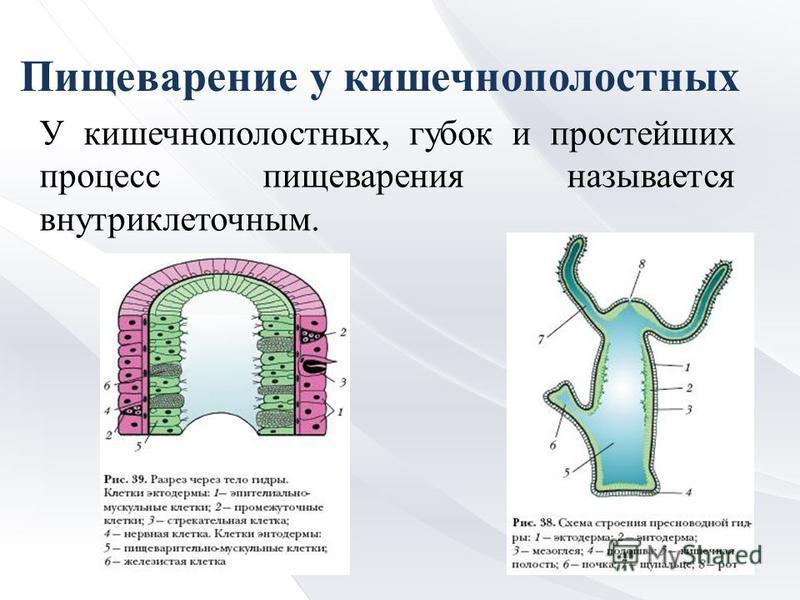 Пищеварение у кишечнополостных У кишечнополостных, губок и простейших процесс пищеварения называется внутриклеточным.