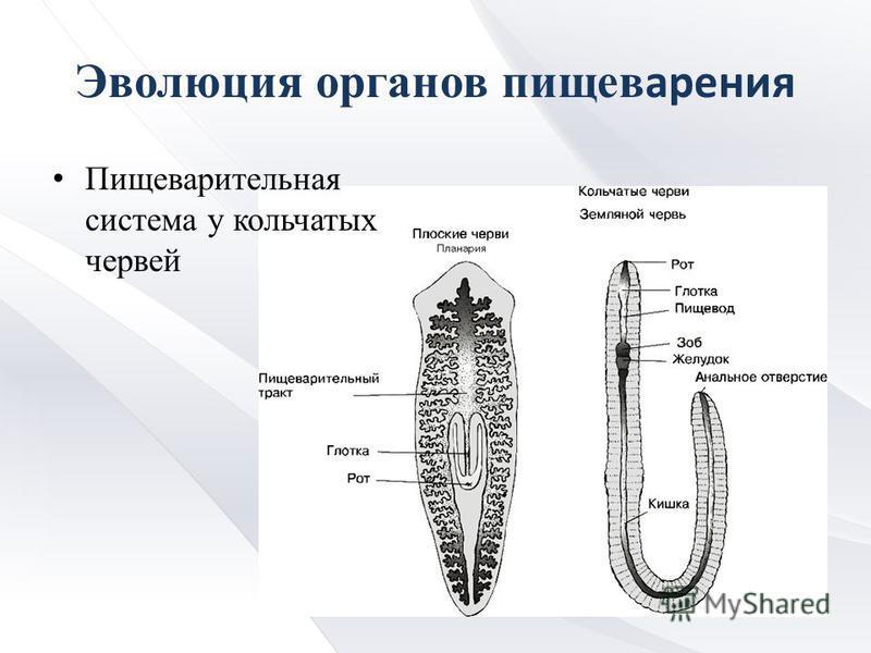 Эволюция органов пищеварения Пищеварительная система у кольчатых червей