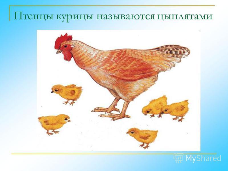 Птенцы курицы называются цыплятами