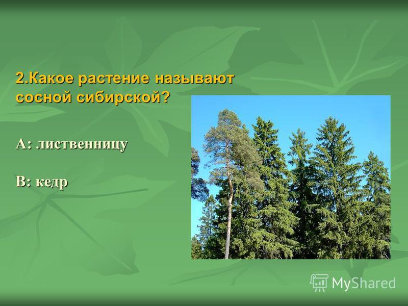 2. Какое растение называют сосной сибирской? А: лиственницу В: кедр