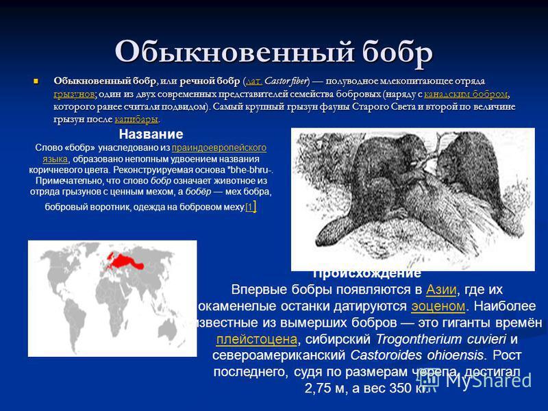 Обыкновенный бобр Обыкновенный бобр, или речной бобр (лат. Castor fiber) полуводное млекопитающее отряда грызунов; один из двух современных представителей семейства бобровых (наряду с канадским бобром, которого ранее считали подвидом). Самый крупный