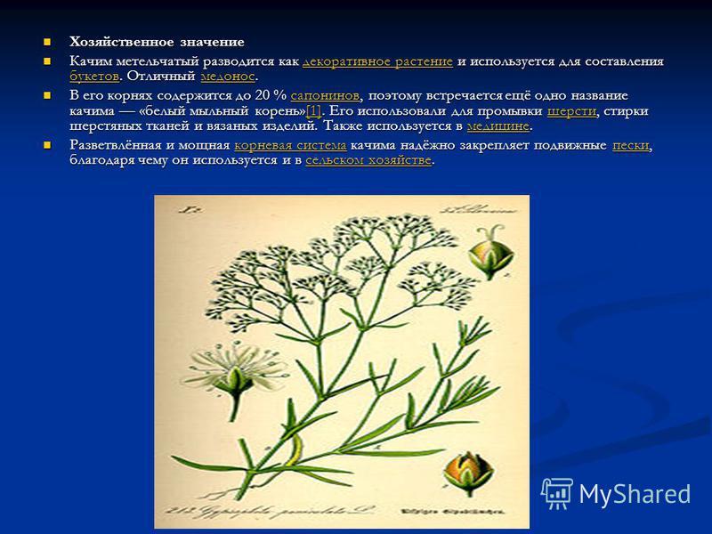 Хозяйственное значение Хозяйственное значение Качим метельчатый разводится как декоративное растение и используется для составления букетов. Отличный медонос. Качим метельчатый разводится как декоративное растение и используется для составления букет