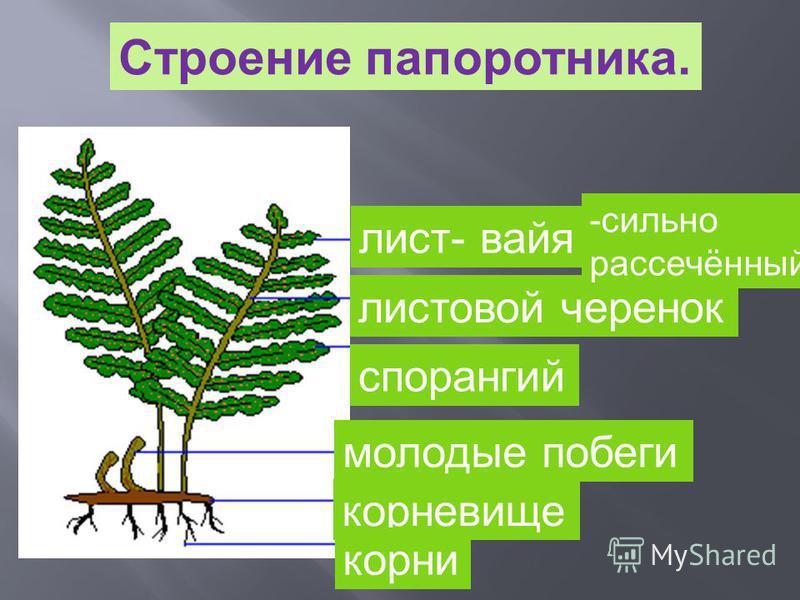 Строение папоротника. лист- вайя листовой черенок спорангий молодые побеги корневище корни -сильно рассечённый