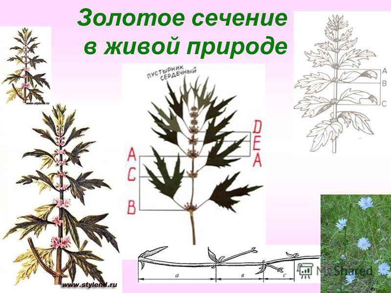 Золотое сечение в живой природе