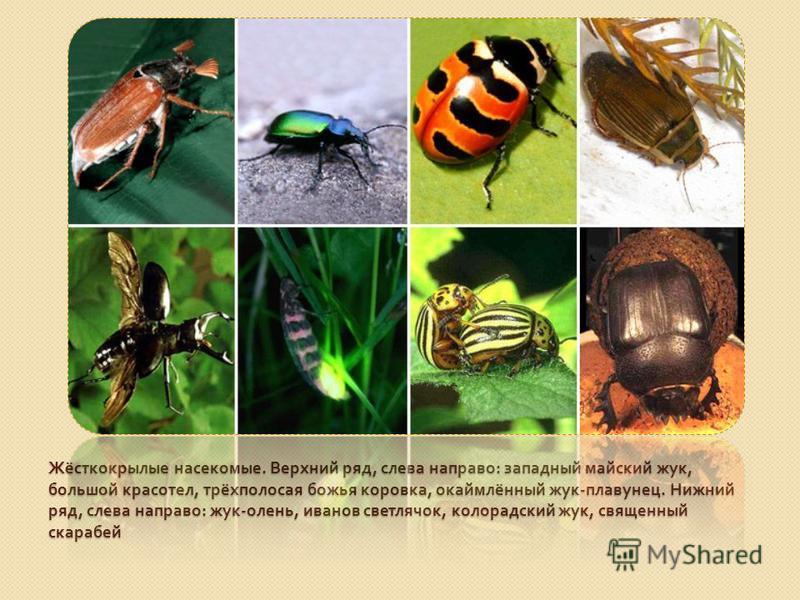 Жёсткокрылые насекомые. Верхний ряд, слева направо : западный майский жук, большой красотел, трёхполосая божья коровка, окаймлённый жук - плавунец. Нижний ряд, слева направо : жук - олень, иванов светлячок, колорадский жук, священный скарабей