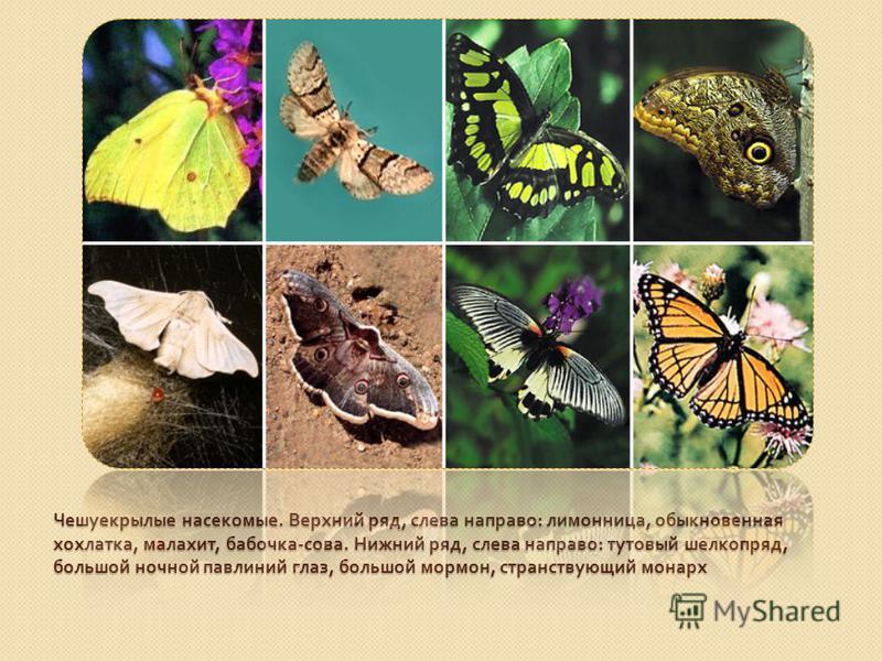 Чешуекрылые насекомые. Верхний ряд, слева направо : лимонница, обыкновенная хохлатка, малахит, бабочка - сова. Нижний ряд, слева направо : тутовый шелкопряд, большой ночной павлиний глаз, большой мормон, странствующий монарх