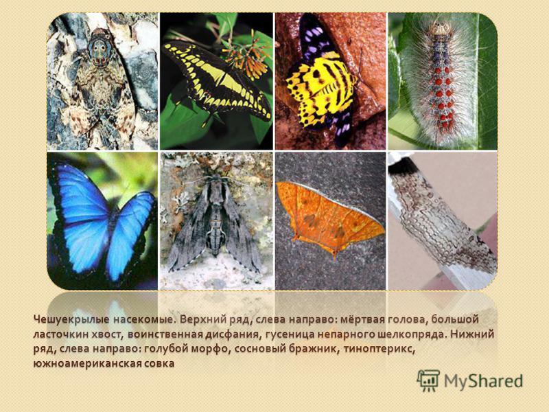 Чешуекрылые насекомые. Верхний ряд, слева направо : мёртвая голова, большой ласточкин хвост, воинственная дисфония, гусеница непарного шелкопряда. Нижний ряд, слева направо : голубой морфо, сосновый бражник, тиноптерикс, южноамериканская совка