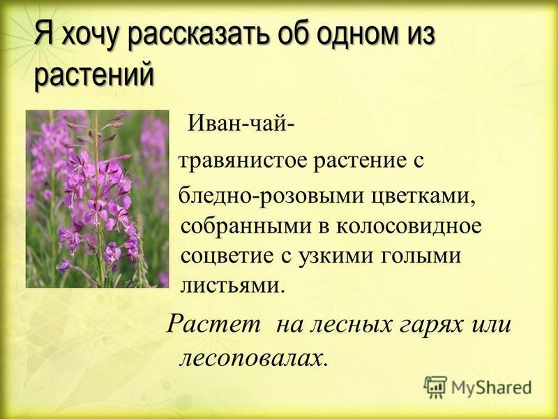 Я хочу рассказать об одном из растений Иван - чай - травянистое растение с бледно - розовыми цветками, собранными в колосовидное соцветие с узкими голыми листьями. Растет на лесных гарях или лесоповалах.