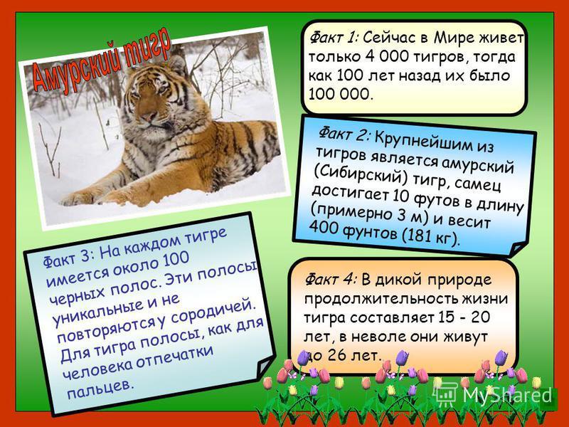 Факт 3: На каждом тигре имеется около 100 черных полос. Эти полосы уникальные и не повторяются у сородичей. Для тигра полосы, как для человека отпечатки пальцев. Факт 4: В дикой природе продолжительность жизни тигра составляет 15 - 20 лет, в неволе о