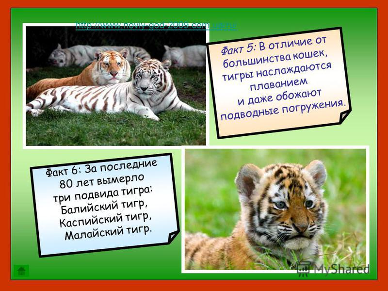 Факт 5: В отличие от большинства кошек, тигры наслаждаются плаванием и даже обожают подводные погружения. Факт 6: За последние 80 лет вымерло три подвида тигра: Балийский тигр, Каспийский тигр, Малайский тигр. http://www.noviy-god-2009.com.ua/ru/