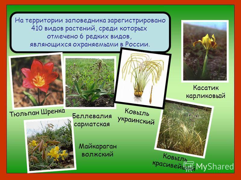 На территории заповедника зарегистрировано 410 видов растений, среди которых отмечено 6 редких видов, являющихся охраняемыми в России. Тюльпан Шренка Беллевалия сарматская Ковыль красивейший Ковыль украинский Майкараган волжский Касатик карликовый