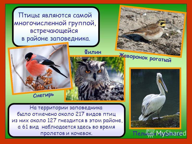 Птицы являются самой многочисленной группой, встречающейся в районе заповедника. Жаворонок рогатый Снегирь Филин Пеликан кудрявый На территории заповедника было отмечено около 217 видов птиц из них около 127 гнездится в этом районе, а 61 вид наблюдае
