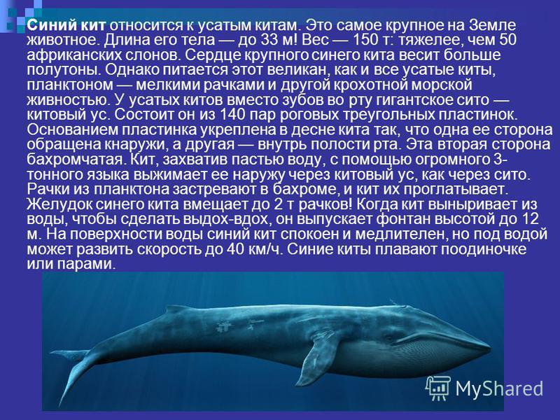 Синий кит относится к усатым китам. Это самое крупное на Земле животное. Длина его тела до 33 м! Вес 150 т: тяжелее, чем 50 африканских слонов. Сердце крупного синего кита весит больше полутоны. Однако питается этот великан, как и все усатые киты, пл