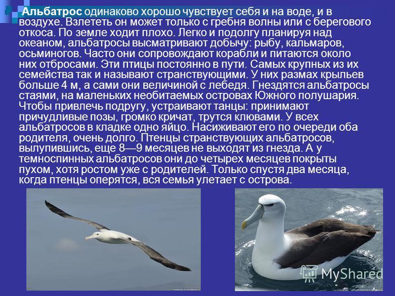 Альбатрос одинаково хорошо чувствует себя и на воде, и в воздухе. Взлететь он может только с гребня волны или с берегового откоса. По земле ходит плохо. Легко и подолгу планируя над океаном, альбатросы высматривают добычу: рыбу, кальмаров, осьминогов