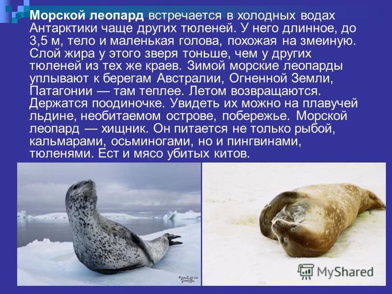 Морской леопард встречается в холодных водах Антарктики чаще других тюленей. У него длинное, до 3,5 м, тело и маленькая голова, похожая на змеиную. Слой жира у этого зверя тоньше, чем у других тюленей из тех же краев. Зимой морские леопарды уплывают