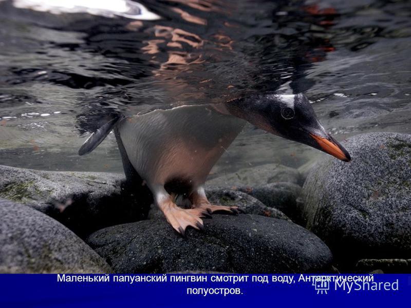 Необычные животные под названием нарвалы погружаются под воду, Ланкастер Саунд, Канада.