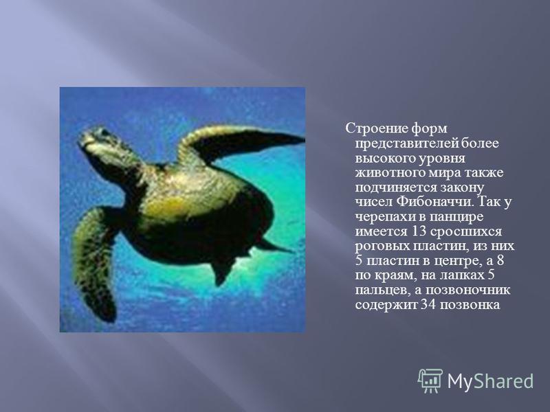 Строение форм представителей более высокого уровня животного мира также подчиняется закону чисел Фибоначчи. Так у черепахи в панцире имеется 13 сросшихся роговых пластин, из них 5 пластин в центре, а 8 по краям, на лапках 5 пальцев, а позвоночник сод