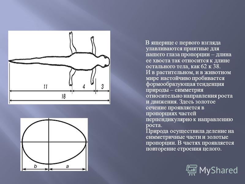 В ящерице с первого взгляда улавливаются приятные для нашего глаза пропорции – длина ее хвоста так относится к длине остального тела, как 62 к 38. И в растительном, и в животном мире настойчиво пробивается формообразующая тенденция природы – симметри