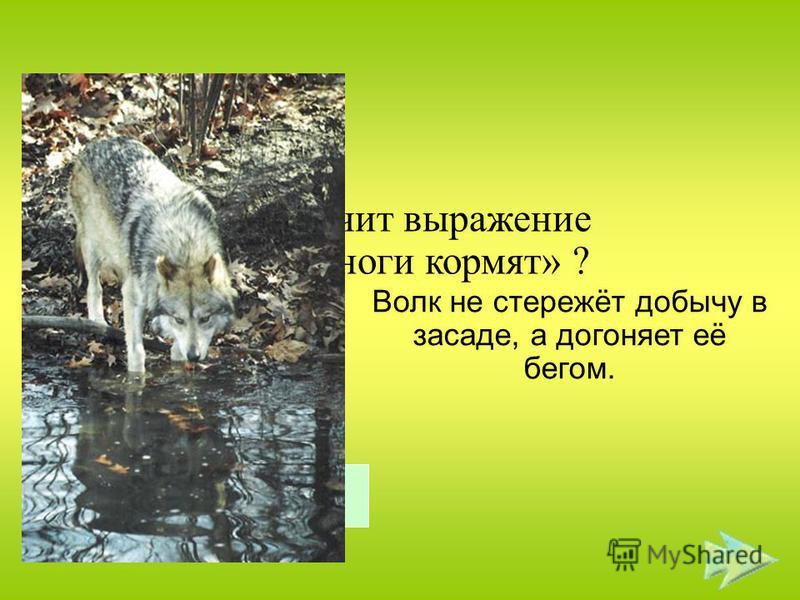 Что значит выражение «волка ноги кормят» ? Волк не стережёт добычу в засаде, а догоняет её бегом. Правильный ответ