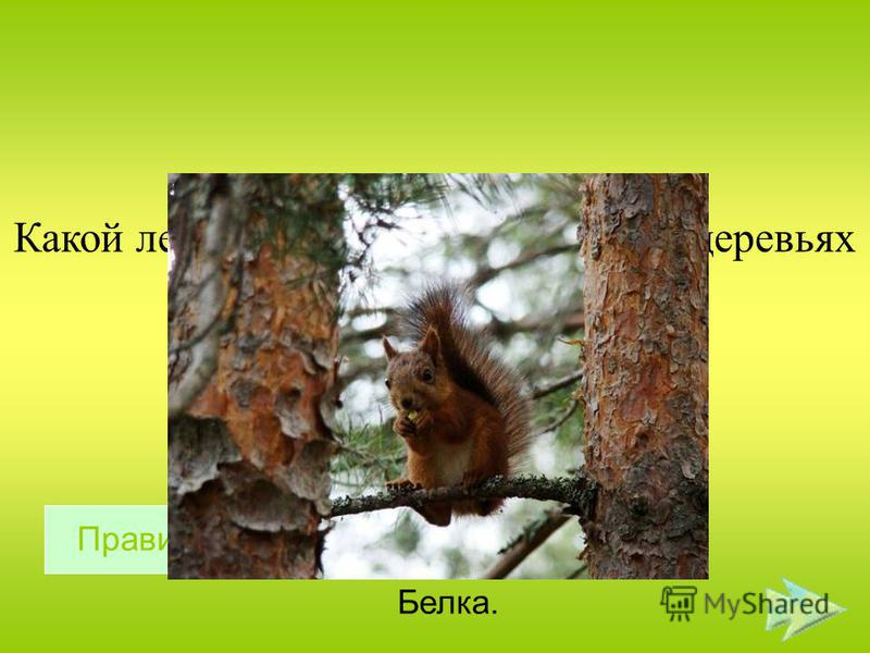 Какой лесной житель сушит себе на деревьях грибы ? Белка. Правильный ответ