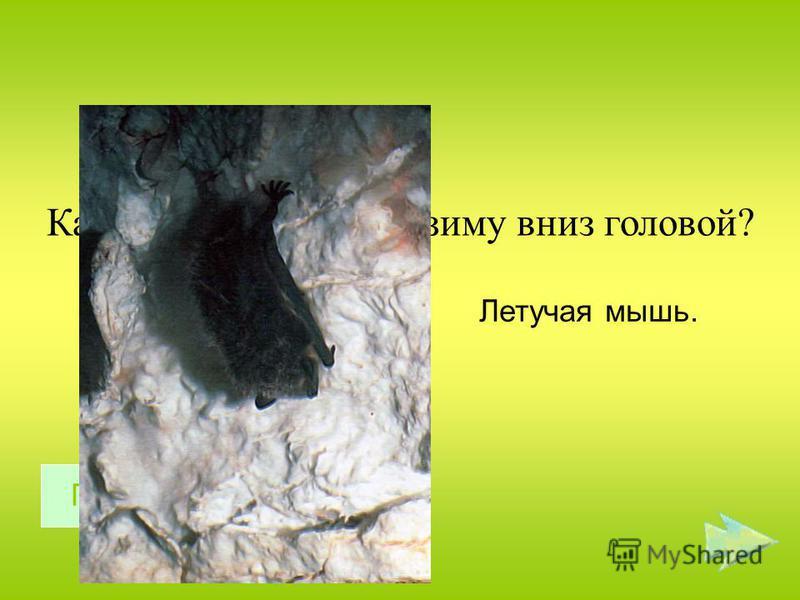 Какой зверь спит всю зиму вниз головой? Летучая мышь. Правильный ответ