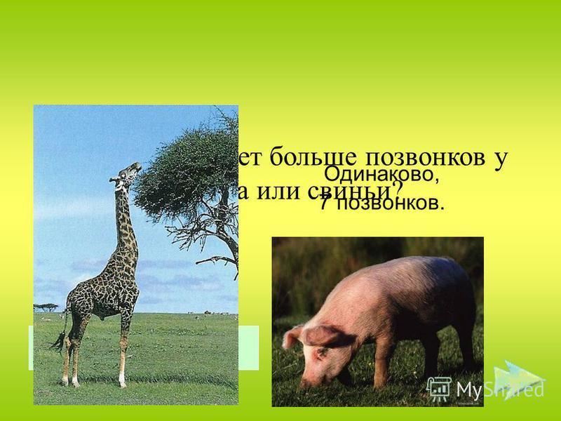 У кого шея имеет больше позвонков у жирафа или свиньи? Одинаково, 7 позвонков. Правильный ответ