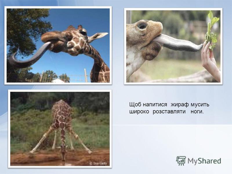 Щоб напитися жираф мусить широко розставляти ноги.