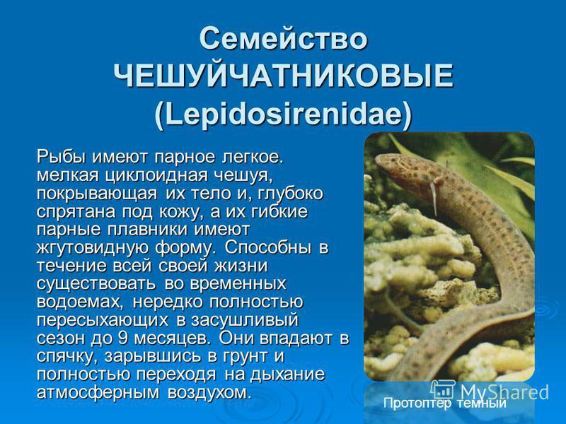 Семейство ЧЕШУЙЧАТНИКОВЫЕ (Lepidosirenidae) Рыбы имеют парное легкое. мелкая циклоидная чешуя, покрывающая их тело и, глубоко спрятана под кожу, а их гибкие парные плавники имеют жгутовидную форму. Способны в течение всей своей жизни существовать во