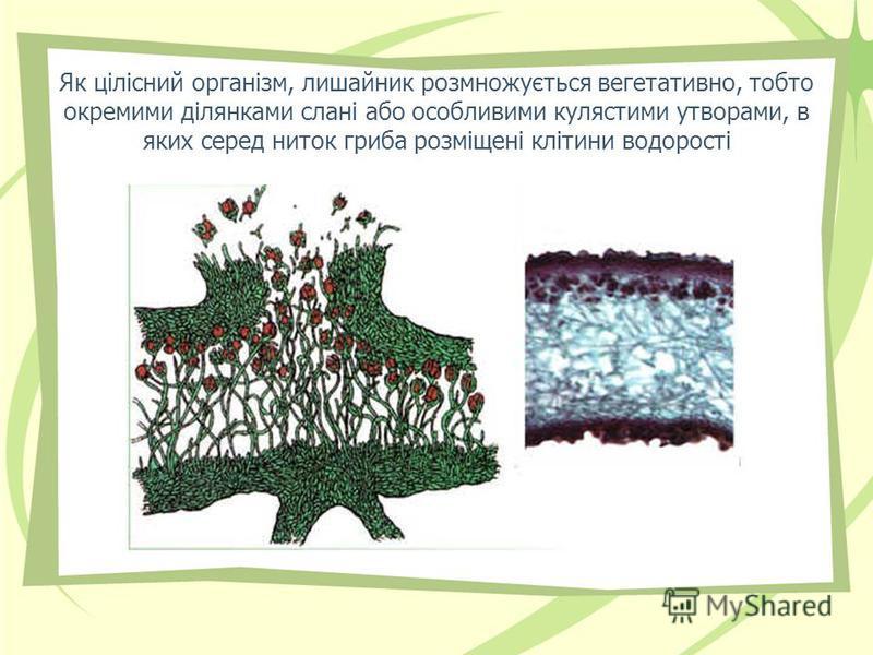 Як цілісний організм, лишайник розмножується вегетативно, тобто окремими ділянками слані або особливими кулястими утворами, в яких серед ниток гриба розміщені клітини водорості