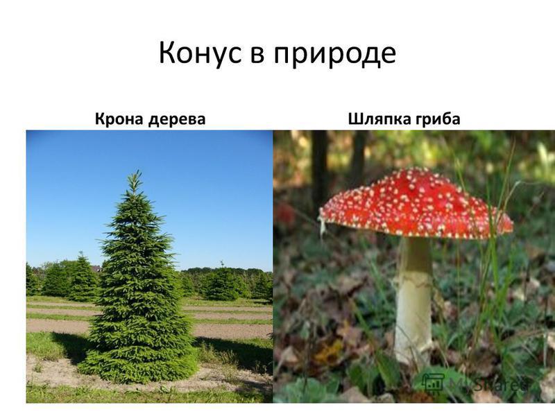 Конус в природе Крона дерева Шляпка гриба