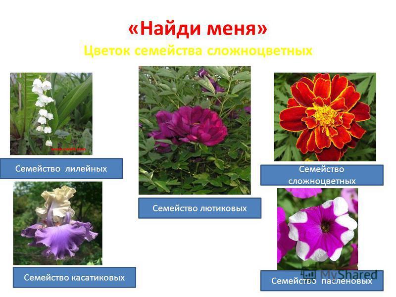 «Найди меня» Цветок семейства сложноцветных