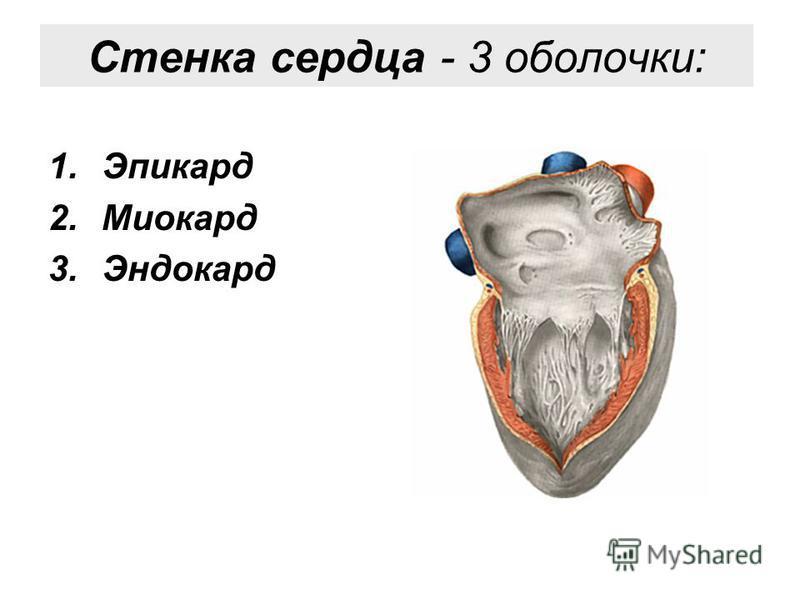 Стенка сердца - 3 оболочки: 1. Эпикард 2. Миокард 3.Эндокард