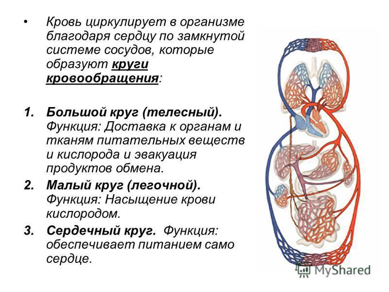 Кровь циркулирует в организме благодаря сердцу по замкнутой системе сосудов, которые образуют круги кровообращения: 1. Большой круг (телесный). Функция: Доставка к органам и тканям питательных веществ и кислорода и эвакуация продуктов обмена. 2. Малы