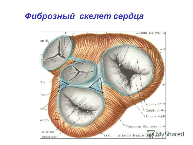 Фиброзный скелет сердца