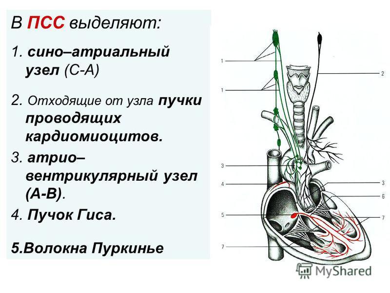 . В ПСС выделяют: 1. сено–атриальный узел (С-А) 2. Отходящие от узла пучки проводящих кардиомиоцитов. 3. атриовентрикулярный узел (А-В). 4. Пучок Гиса. 5. Волокна Пуркинье
