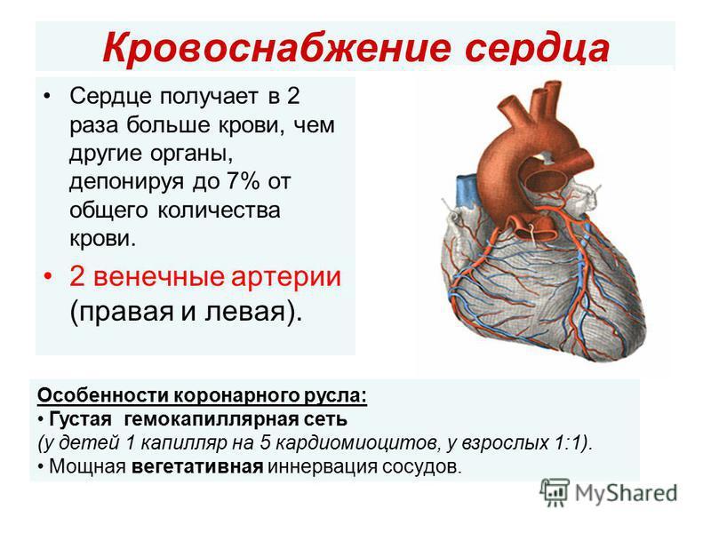 Кровоснабжение сердца Сердце получает в 2 раза больше крови, чем другие органы, депонируя до 7% от общего количества крови. 2 венечные артерии (правая и левая). Особенности коронарного русла: Густая гемо капиллярная сеть (у детей 1 капилляр на 5 кард
