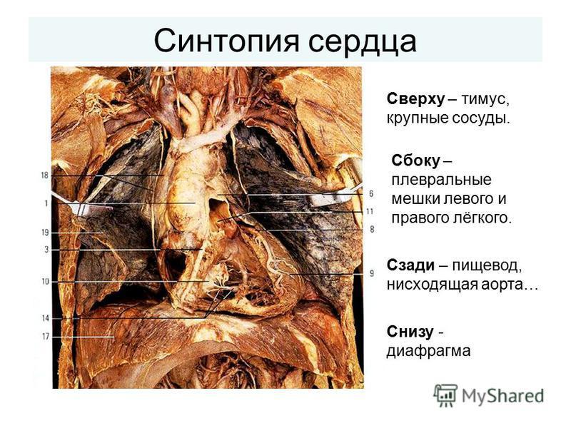 Синтопия сердца Снизу - диафрагма Сбоку – плевральные мешки левого и правого лёгкого. Сверху – тимус, крупные сосуды. Сзади – пищевод, нисходящая аорта…