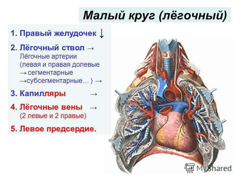 Малый круг (лёгочный) 1. Правый желудочек 2.Лёгочный ствол Лёгочные артерии (левая и правая долевые сегментарныесубсегментарные… ) 3. Капилляры 4.Лёгочные вены (2 левые и 2 правые) 5. Левое предсердие.
