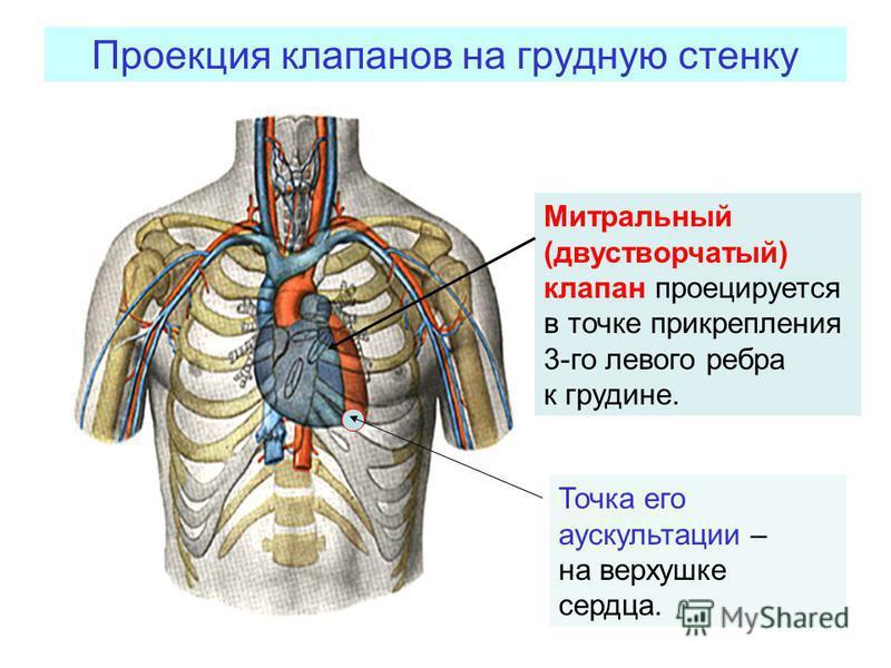 Проекция клапанов на грудную стенку Митральный (двустворчатый) клапан проецируется в точке прикрепления 3-го левого ребра к грудине. Точка его аускультации – на верхушке сердца.
