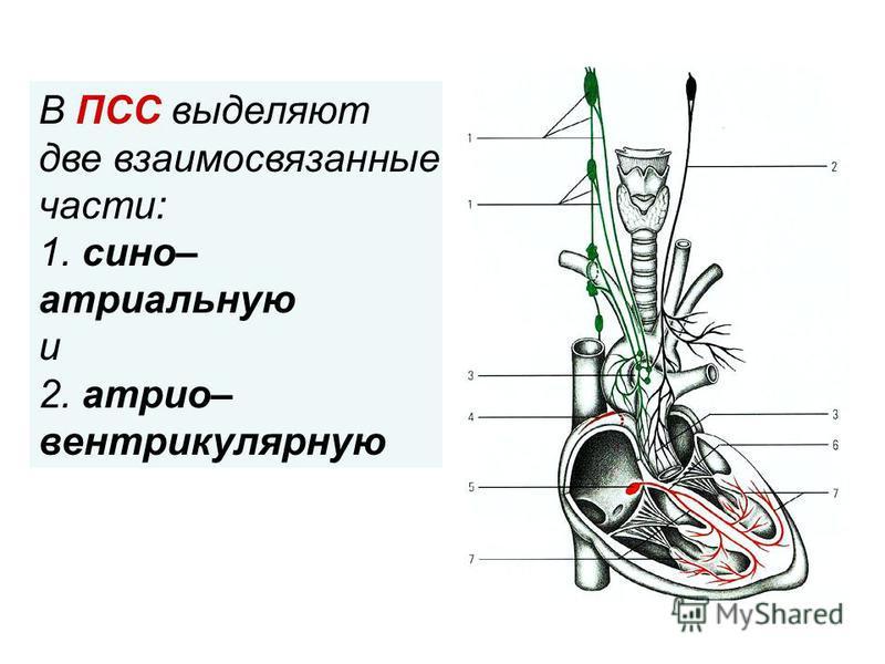 . В ПСС выделяют две взаимосвязанные части: 1. сено– атриальную и 2. атрио– вентрикулярную