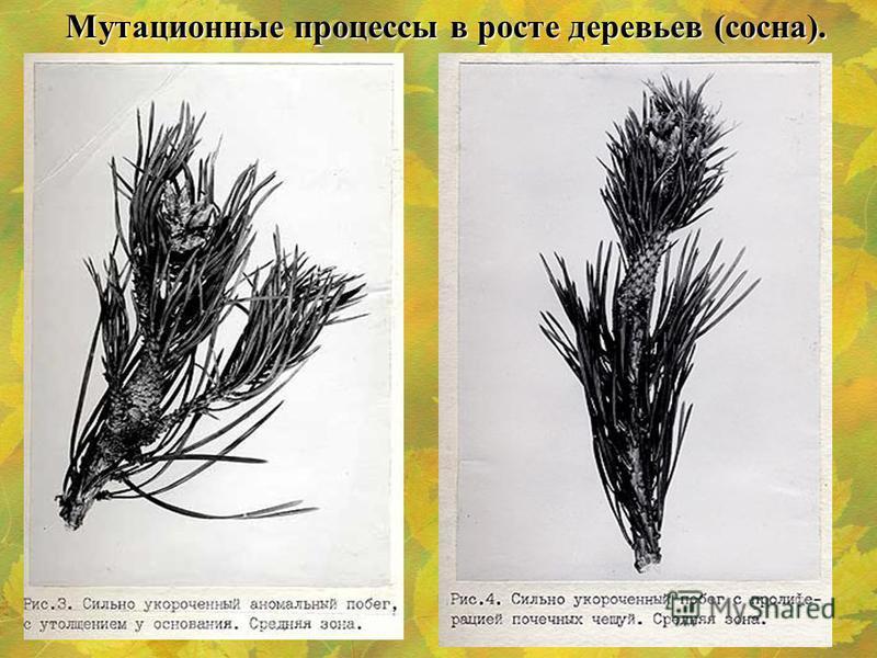 Мутационные процессы в росте деревьев (сосна).