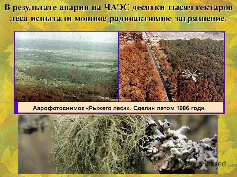 В результате аварии на ЧАЭС десятки тысяч гектаров леса испытали мощное радиоактивное загрязнение. Аэрофотоснимок «Рыжего леса». Сделан летом 1986 года.