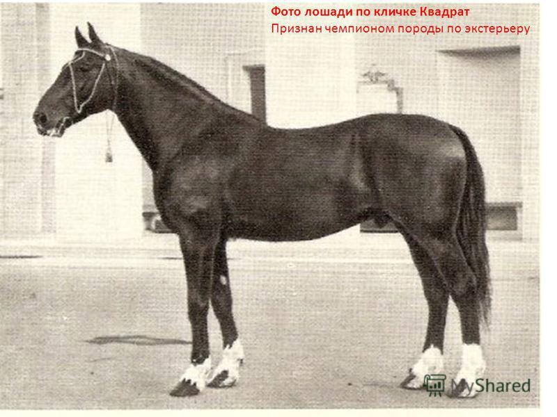 Фото лошади по кличке Квадрат Признан чемпионом породы по экстерьеру