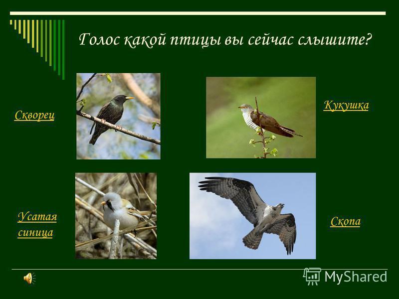 Голос какой птицы вы сейчас слышите? Скворец Скопа Кукушка Усатая синица
