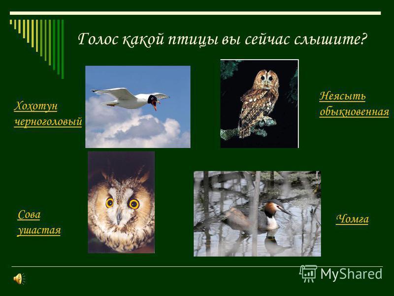 Голос какой птицы вы сейчас слышите? Хохотун черноголовый Чомга Неясыть обыкновенная Сова ушастая