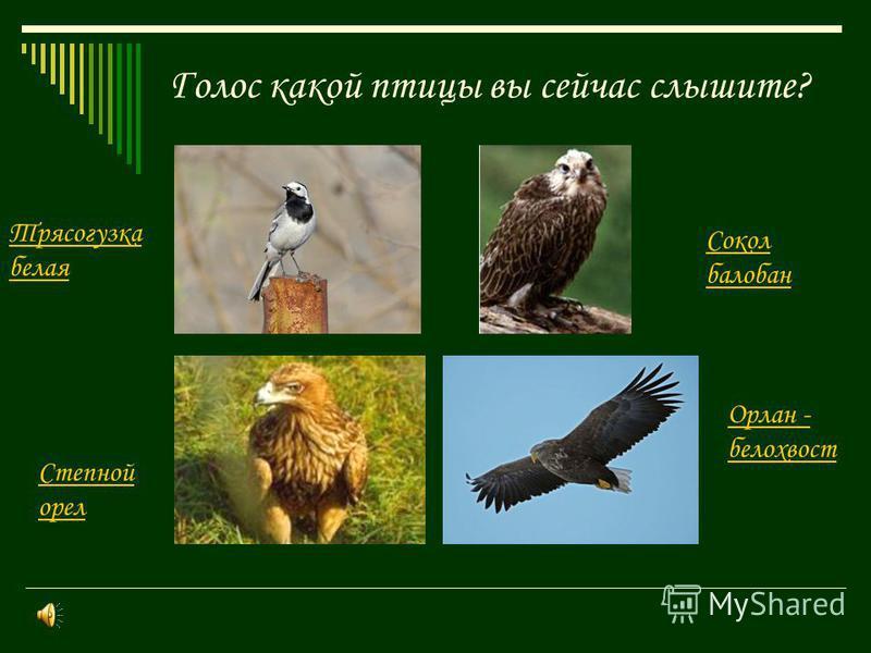 Голос какой птицы вы сейчас слышите? Трясогузка белая Сокол балабан Орлан - белохвост Степной орел