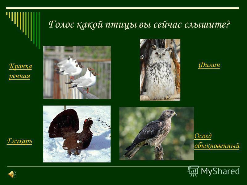 Презентация на тему Определение местных птиц по пению класс  7 Голос какой птицы вы сейчас слышите Крачка речная Осоед обыкновенный Филин Глухарь