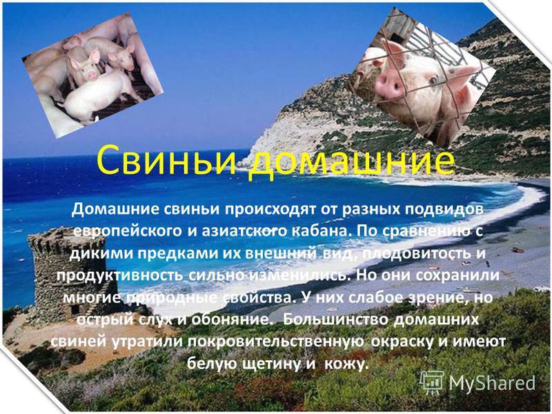 Свиньи домашние Домашние свиньи происходят от разных подвидов европейского и азиатского кабана. По сравнению с дикими предками их внешний вид, плодовитость и продуктивность сильно изменились. Но они сохранили многие природные свойства. У них слабое з
