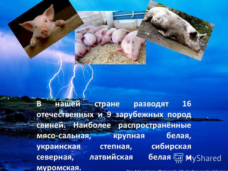 В нашей стране разводят 16 отечественных и 9 зарубежных пород свиней. Наиболее распространённые мясо-сальная, крупная белая, украинская степная, сибирская северная, латвийская белая и муромская.