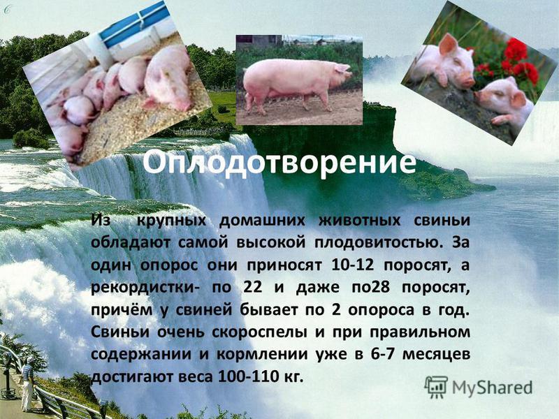 Оплодотворение Из крупных домашних животных свиньи обладают самой высокой плодовитостью. За один опорос они приносят 10-12 поросят, а рекордистки- по 22 и даже по 28 поросят, причём у свиней бывает по 2 опороса в год. Свиньи очень скороспелы и при пр